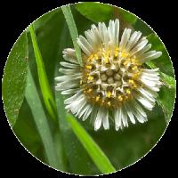 il fiore bhringraj